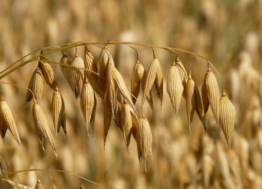 Wenn Getreide, dann Hafer -